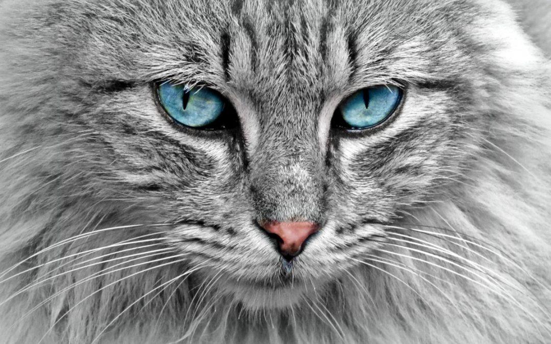 Feline Diabetes Mellitus